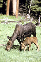Moose (Alces alces), mother and calf