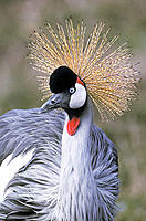Crowned Crane (Balearica regulorum)