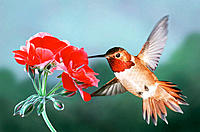 Rufous Hummingbird, Male, and red geranium