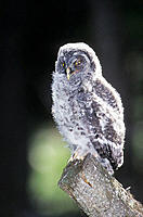 Great Gray Owl (Strix nebulosa), fledgling