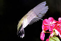 Hummingbird with transparent wings