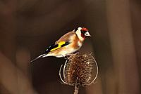 Goldfinch (Carduelis carduelis) on teasel