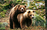 Brown Bears (Ursus arctos) mating