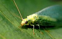 Lacewing (Chrysopa carnea)