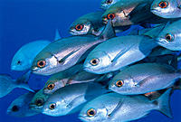 School of Bigeye Fish, Close-up