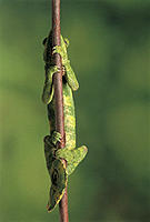 Mellers Chameleon Climbing Branch