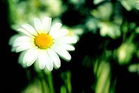 Daisy ,