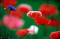 Mohn Klatschmohn Kornblume Blume rot blau