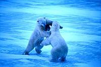 Eisbär kämpfen Kampf