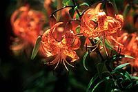 Lilie Tigerlilie