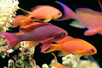 Fiji, C/u side vu, one male & several female lyretail anthias (Pseudanthias squammipinnis)