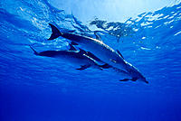 Caribbean 3 Atlantic spotted dolphins nr surface (Stenella frontalis) Bahama Bank underwater