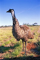 Western Australia full view emu, Dromaius novaehollandiae bird outdoor medicinal value
