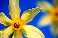 Daffodils (Narcissus sp.)