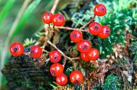 Fruits of European Mountain Ash (Sorbus aucuparia). Scotland