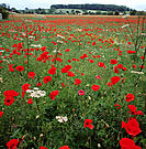 Poppy field. Red poppies (Papaver sp.) in a field. The poppy is a widespread weed of both cultivated and uncultivated land. The flowers are short- liv...