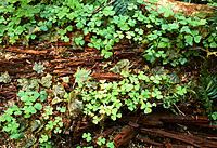 Clover-like plants (unidentified) growing around bits of dead wood on the floor of a temperate rainforest. Photographed in Olympic National Park, Wash...