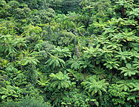 Temperate rainforest. View of a rainforest canopy on a hillside, which includes the silver tree fern Cyathea dealbata. The silver tree fern or ponga´ ...