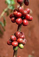 Coffee fruits. Branch of a coffee plant, Coffea sp., showing two clusters of fruits, attached with very short stems. The fruits vary in colour from pa...