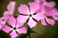 Woodland Phlox (Phlox divaricata). Canada