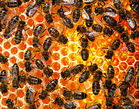 Honey bees. View of honey bees, Apis mellifera, on honeycomb. These are worker bees who construct and maintain the nest, take care of the larvae, defe...