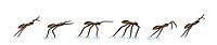 Fishing spider. Artwork sequence (left to right) illustrating how a fishing spider (Dolomedes sp.) runs across water. It lands on its back legs and br...