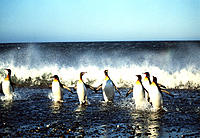King penguins (Aptenodytes patagonicus) leaving the Atlantic Ocean after a fishing trip. These birds are very social, living and breeding in large col...