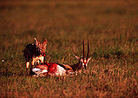 Black-backed jackal (Canis mesomelas) feeding on a Thomson´s gazelle (Gazella thomsoni). This jackal inhabits grassland and open country in southern a...