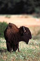Bison (Bison bison). Wichita Mountains Natural Wildlife Refuge. Oklahoma. USA