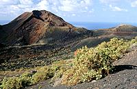 Sorrel (Rumex lunaria) in front of Teneguia volcano. La Palma. Canary Islands. Spain