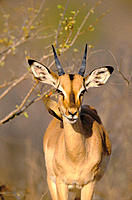Impala (Aepyceros melampus), with redbilled oxpecker. Kruger National Park. South Africa