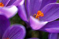 Crocus (Crocus sp.)