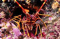 Spiny Lobster (Palinurus elephas). Galicia. Spain