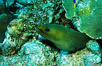 Green Moray Eel and Neon Goby<br>Belize