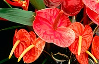 Tail flowers (Anthurium andraeanum). Hawaii. USA