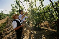 Farmers checking plum trees. Lepe. Huelva province. Spain