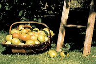 A Basket of Apples in the Orchard