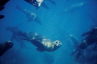 Fur Seals playing underwater. Valdés Peninsula. Chubut province. Argentina
