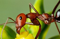 Ant (Cataglyphis velox) feeding on Euforbia