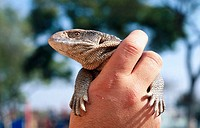 holding a savannah monitor lizard
