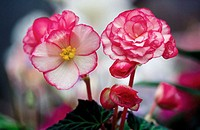 Begonias (Begonia tuberosa)