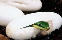Red-tailed Racer snake (Gonyosoma oxycephala)
