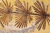 Fossil Hosetail (Equisetum sp.). Italy