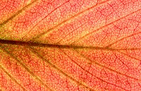 Strawberry (Fragaria x ananassa) leaf in autumn