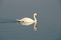 Mute Swan (Cygnus olor)