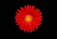 One Red Gerbera