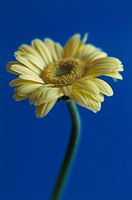 One Yellow Gerbera