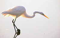 Great Egret (Egretta alba). Florida. USA