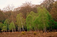 Silver Birchs (Betula pendula) in early Spring. New Forest, Hampshire. England