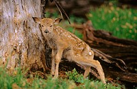 Black-tailed deer fawn. Olympic National Park. Washington. USA